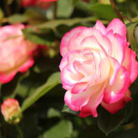 薔薇(ジュビレ・ドゥ・プリンスモナコ)