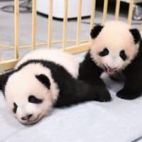 ペット・動物 38匹 『世界一幸せなパンダ 「シャオシャオ」と「レイレイ」』