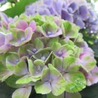紫陽花「マジカル・アメジスト」 3