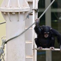動物園・Chimpanzee