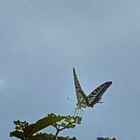 てふてふ(Butterfly)