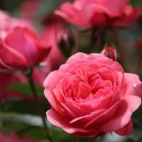 湧永満之記念庭園のバラ園その2