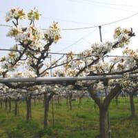 果樹(梨・柿・キュウイ・サクランボ)関係 新高収穫 ラフランスピンチ 2019/9/11追記・2013/12搭載