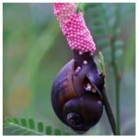 乙女ピンクな卵からの孵化、ポロポロと零れ落ちるジャンボタニシの幼体たち(※つぶつぶ大量注意)