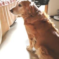 セラピー犬マリーおかげさまで元気になりました  マリーのいないクリスマス