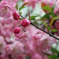 4 / 4 「 花海棠 豌豆豆 花蘇芳 」