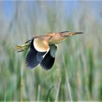 今日の野鳥  サンカノゴイ  ・  ヨシゴイ  ・  オオヨシキリ