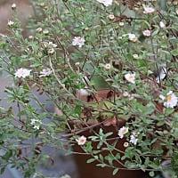 リュウノウギクが咲いて