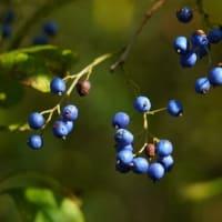 大豊作 サワフタギ の青い実