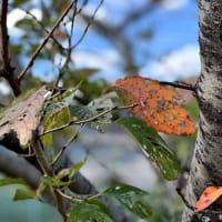テニスコートのまわりに咲く「ジュウガツザクラ」と紅葉、いい感じでちょっと不思議な風景