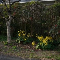 お客様のご紹介と野坂屋旅館の石蕗の花