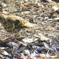 Cutie bird No.32 トラツグミ