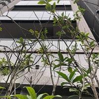 田町三田でキンモクセイが香ってきました
