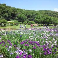 東村山菖蒲まつり2019.6.16