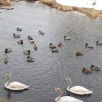 帯広川の水鳥たち
