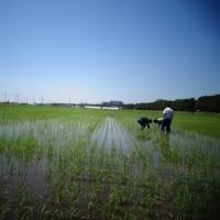乾田直播栽培の生育調査を実施しました。