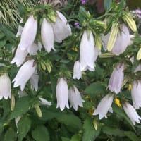 梅雨間近・散歩道の花