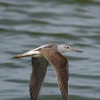 アオアシシギ 幼鳥 飛翔