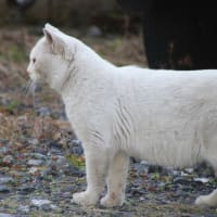 白猫の悲劇