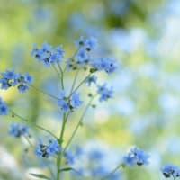 Tender Blue シノグロッサム