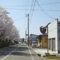 桜満開 山形県長井市
