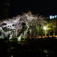 山下公園に夜桜撮影しながら夜散歩