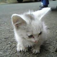 保護された頃と、体重15キロで糖尿病だった頃ニャう。 #保護猫 #白猫 #猫 #cat #糖尿病 #ダイエット #完治 #インスリン注射