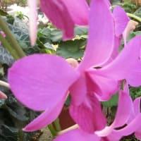 デンファレの花は