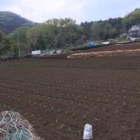 エダマメ畑