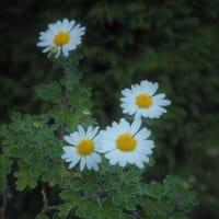 開花中の山野草・・・野ギク。
