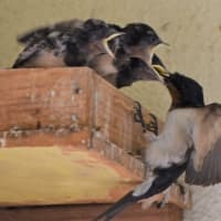 七十二候通信 七十二候通信 玄鳥去 つばめ かえる  子育てを終えたツバメが南に戻っていく     今年は燕がわが家の巣を見に来ただけでどこかへ飛び去ってしまいました、近所でも巣作りをしませんでした