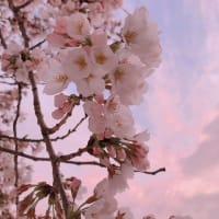 家の桜~♪