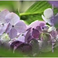 花果てる/紫陽花