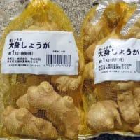 里芋と生姜の植え付け!