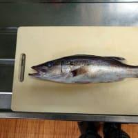 釣り魚料理(アラ)熟成して握りに