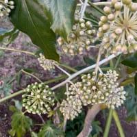 オサンポ walk - 植物plant: 八つ手かな Fatsia japonica