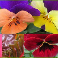 ビオラと金盞花