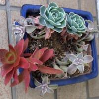Myガーデンの多肉植物の鉢と花:まとめ