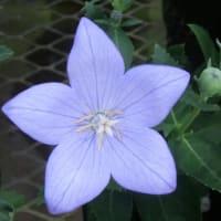 キキョウの花は