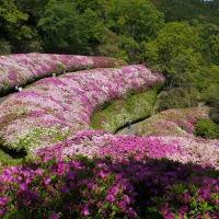 生駒山なるかわ園地のツツジ