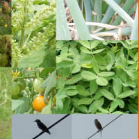 モズ&ヒヨドリのいる菜園風景