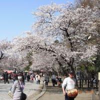 日本の桜、その2