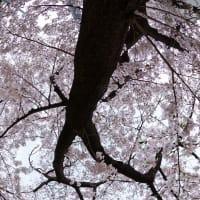 街の桜(計58枚)