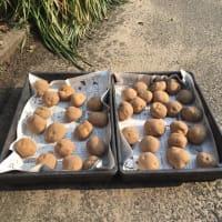 ジャガイモの日光浴 浴光催芽