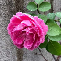 実生のバラは新種です♡