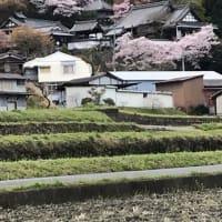 桜と聖林寺
