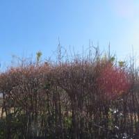 早咲き桜とカモたち