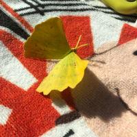 イチョウの葉っぱ