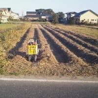 5番目の畝の収穫
