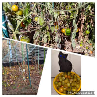 ミニトマトの収穫完了しました